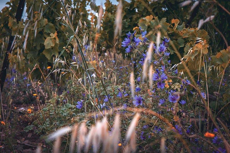 Vignes et fleurs de printemps domaine pujol
