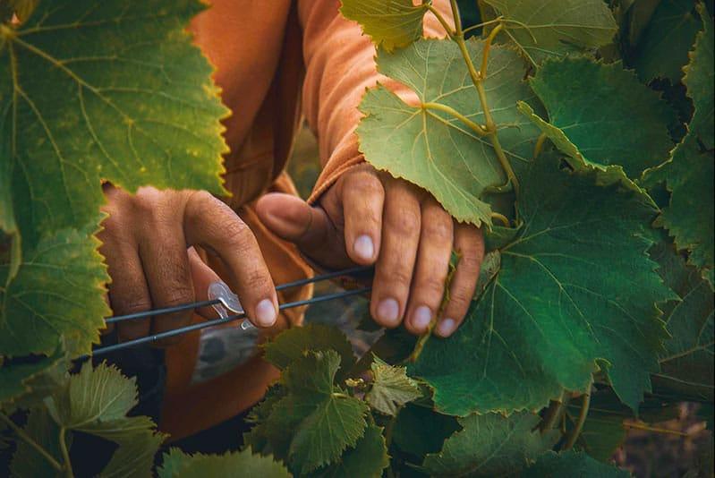 Travail de la vigne domaine pujol